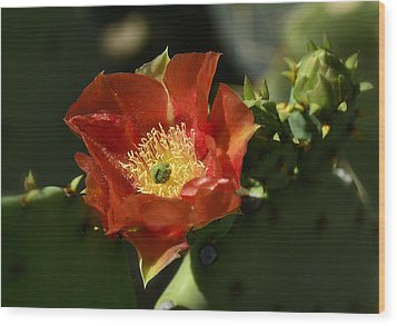 Orange Prickly Pear Blossom  Wood Print by Saija  Lehtonen
