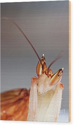 Orchid Praying Mantis Wood Print by Joerg Lingnau