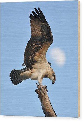 Osprey In Flight Wood Print by Rick Frost
