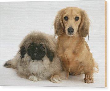 Pekingese And Dachshund Puppies Wood Print by Jane Burton