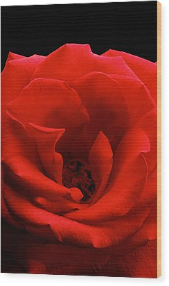 Photograph Of A Red Rose Wood Print by Perla Copernik