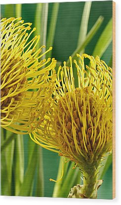 Picture Of A Pincushion Protea Wood Print by Perla Copernik