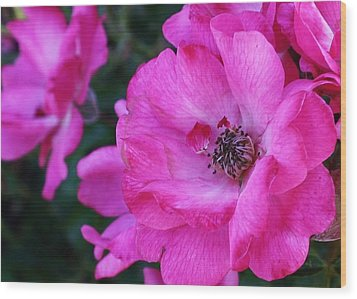 Pink Roses Wood Print by Bruce Bley