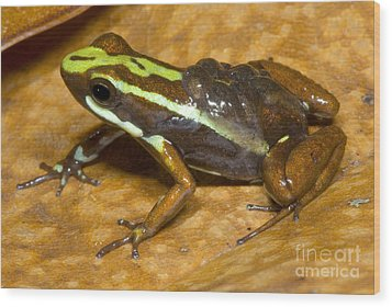 Poison Frog With Eggs Wood Print by Dante Fenolio