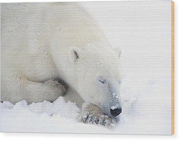 Polar Bear Ursus Maritimus Has His Eyes Wood Print by Richard Wear