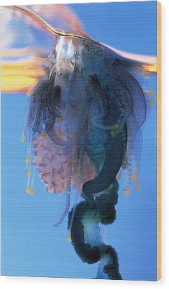 Portuguese Man-of-war Wood Print by Georgette Douwma