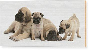 Pug And English Mastiff Puppies Wood Print by Jane Burton