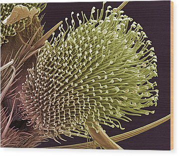 Pulvilli On A Fly's Foot, Sem Wood Print by Steve Gschmeissner