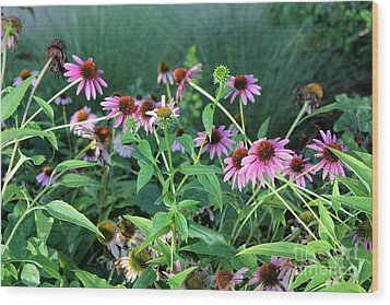 Purple Coneflowers Wood Print by Theresa Willingham