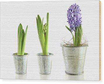 Purple Hyacinth In Garden Pots On White Wood Print by Sandra Cunningham