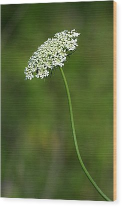 Queen Anne's Lace Wood Print by Rick Rauzi