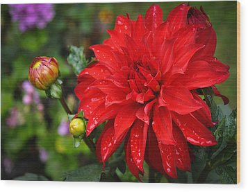 Rain And Red Dahlia Wood Print by Ronda Broatch