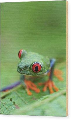 Red-eyed Tree Frog (agalychnis Callidryas) Wood Print by Peter Lilja