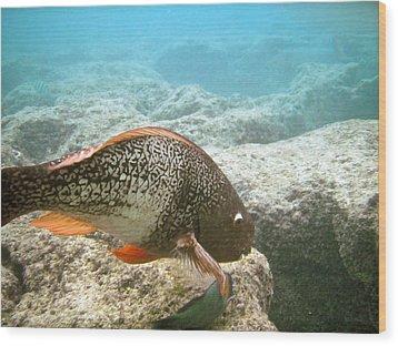 Redlip Parrotfish Wood Print by Michael Peychich