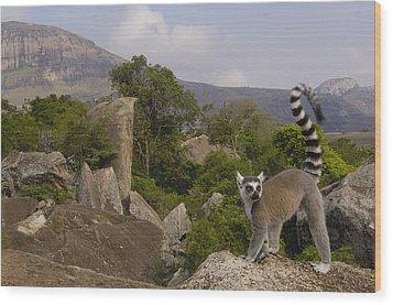 Ring-tailed Lemur Lemur Catta Portrait Wood Print by Pete Oxford