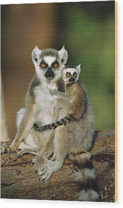 Ring-tailed Lemur Mother And Baby Wood Print by Cyril Ruoso