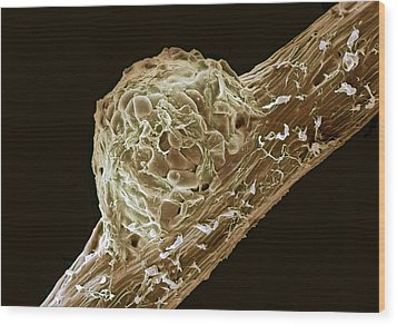 Root Nodule Wood Print by Dr Jeremy Burgess
