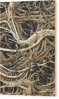 Roots Of A Pot-bound Buddleja Plant Wood Print by Dr Jeremy Burgess