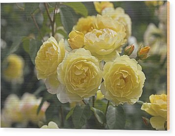 Rose (rosa 'charlotte Auspoly') Wood Print by Dr Keith Wheeler