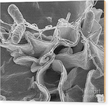 Salmonella Bacteria, Sem Wood Print by Science Source