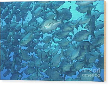 School Of Cortez Sea Chub Fishes Wood Print by Sami Sarkis