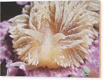 Shaggy Mouse Nudibranch Wood Print by Alexander Semenov
