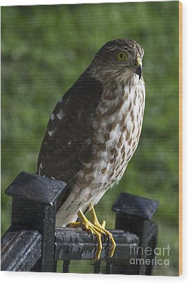 Sharp-shinned Hawk Wood Print by TommyJohn PhotoImagery LLC