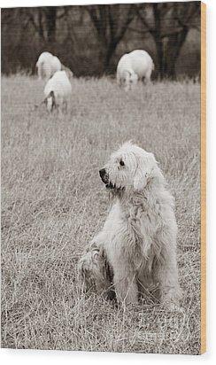 Sheepdog Wood Print by David  Rusch
