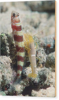 Shrimp Goby With Its Partner Shrimp Wood Print by Georgette Douwma