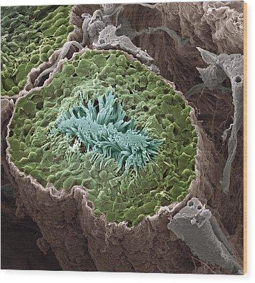 Sperm Production, Sem Wood Print by Steve Gschmeissner