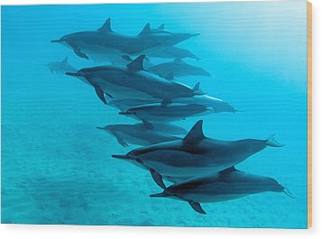 Spinner Dolphins Wood Print by Monica and Michael Sweet
