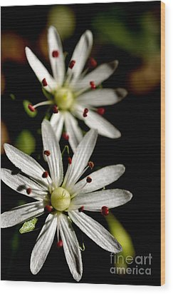 Star Chickweed Wood Print by Thomas R Fletcher