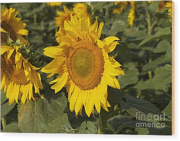 Wood Print featuring the photograph Sun Flower by William Norton