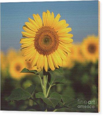 Sunflower Wood Print by Bernard Jaubert