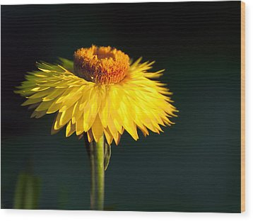 Sunset Daisy Wood Print by Vicki Jauron