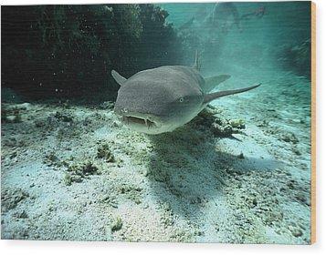 Tawny Nurse Shark Nebrius Ferrugineus Wood Print by Mike Parry