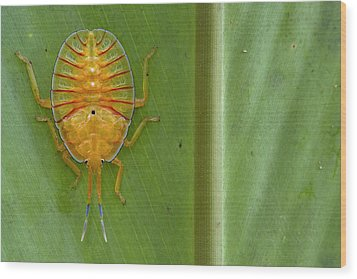 Tessaratomid Nymph Papua New Guinea Wood Print by Piotr Naskrecki