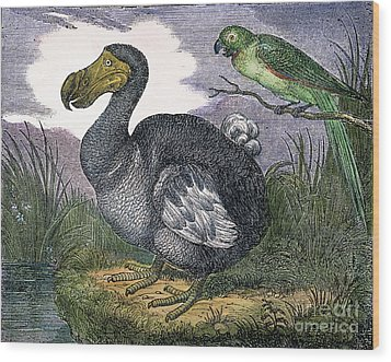 The Mauritius Dodo Wood Print by Granger
