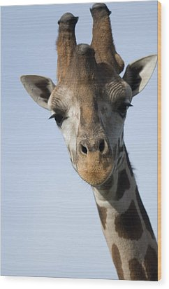 Thompsons Giraffe Giraffa Camelopardalis Wood Print by Joel Sartore