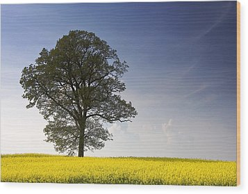 Tree In A Rapeseed Field, Yorkshire Wood Print by John Short