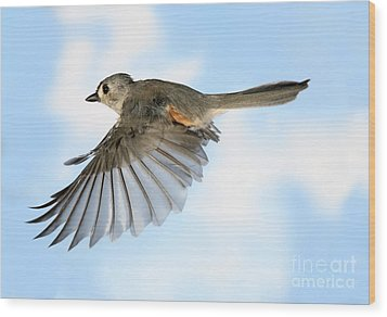 Tufted Titmouse In Flight Wood Print