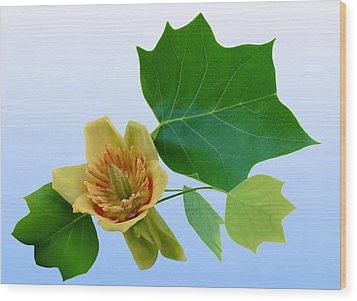 Tulip Poplar Tulip Wood Print by Kristin Elmquist