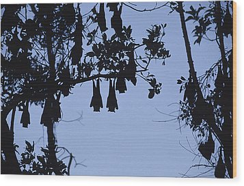 Vulnerable Spectacled Flying Fox Bats Wood Print by Jason Edwards