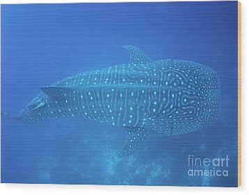 Whale Shark Wood Print by Sami Sarkis