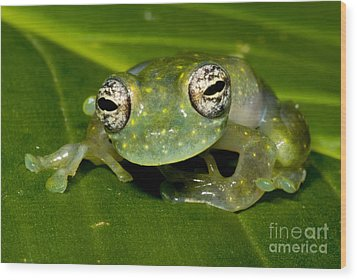 White Spotted Glass Frog Wood Print by Dante Fenolio