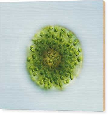 Green Alga, Light Micrograph Wood Print by Gerd Guenther