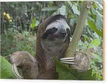 Brown-throated Three-toed Sloth Wood Print by Suzi Eszterhas