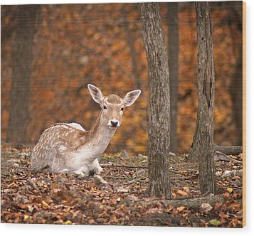 1111-7638 Fawn In Fall Wood Print by Randy Forrester