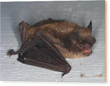 Little Brown Bat Wood Print by Ted Kinsman