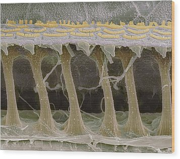 Inner Ear Hair Cells, Sem Wood Print by Steve Gschmeissner